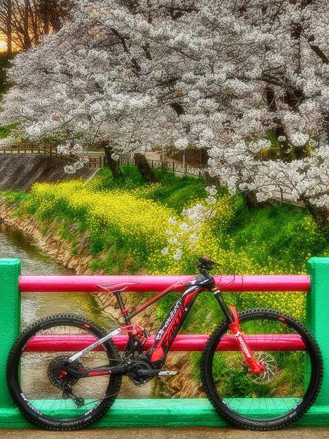 cherry blossoms VII_b0049658_17464488.jpg