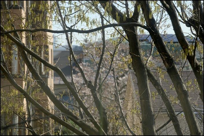 病院の帰りに霊園の桜を愛でることができました 🌸春🌸爛🌸漫🌸_a0031363_03461222.jpg