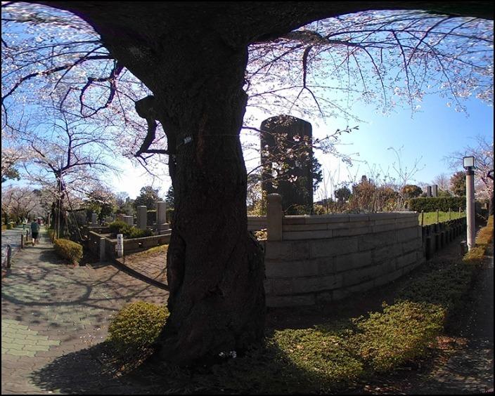 病院の帰りに霊園の桜を愛でることができました 🌸春🌸爛🌸漫🌸_a0031363_03462549.jpg