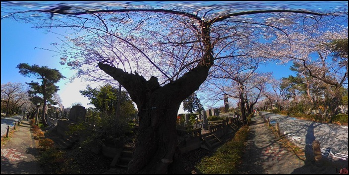 病院の帰りに霊園の桜を愛でることができました 🌸春🌸爛🌸漫🌸_a0031363_03463900.jpg