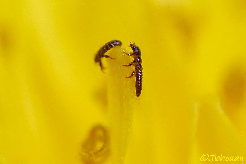 ツチハンミョウの三爪幼虫(さんそうようちゅう)・・・_a0342569_17365715.jpg