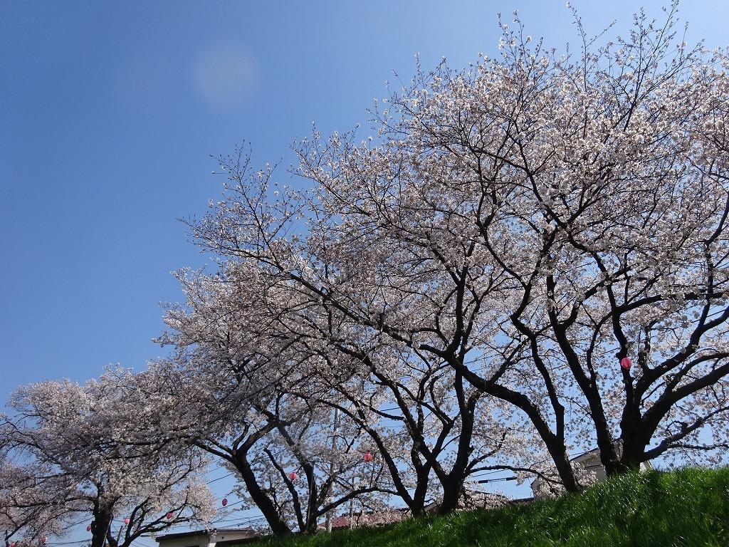 志木花見!近所の柳瀬川にて、暑かった!半袖でも汗ばんだ昨日_d0061678_12005742.jpg