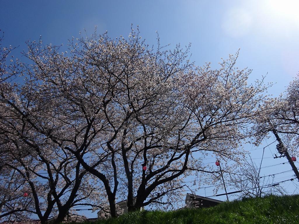 志木花見!近所の柳瀬川にて、暑かった!半袖でも汗ばんだ昨日_d0061678_12012700.jpg