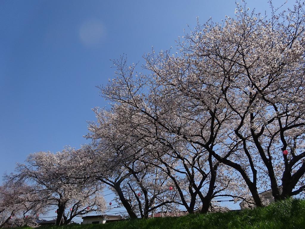 志木花見!近所の柳瀬川にて、暑かった!半袖でも汗ばんだ昨日_d0061678_12022872.jpg