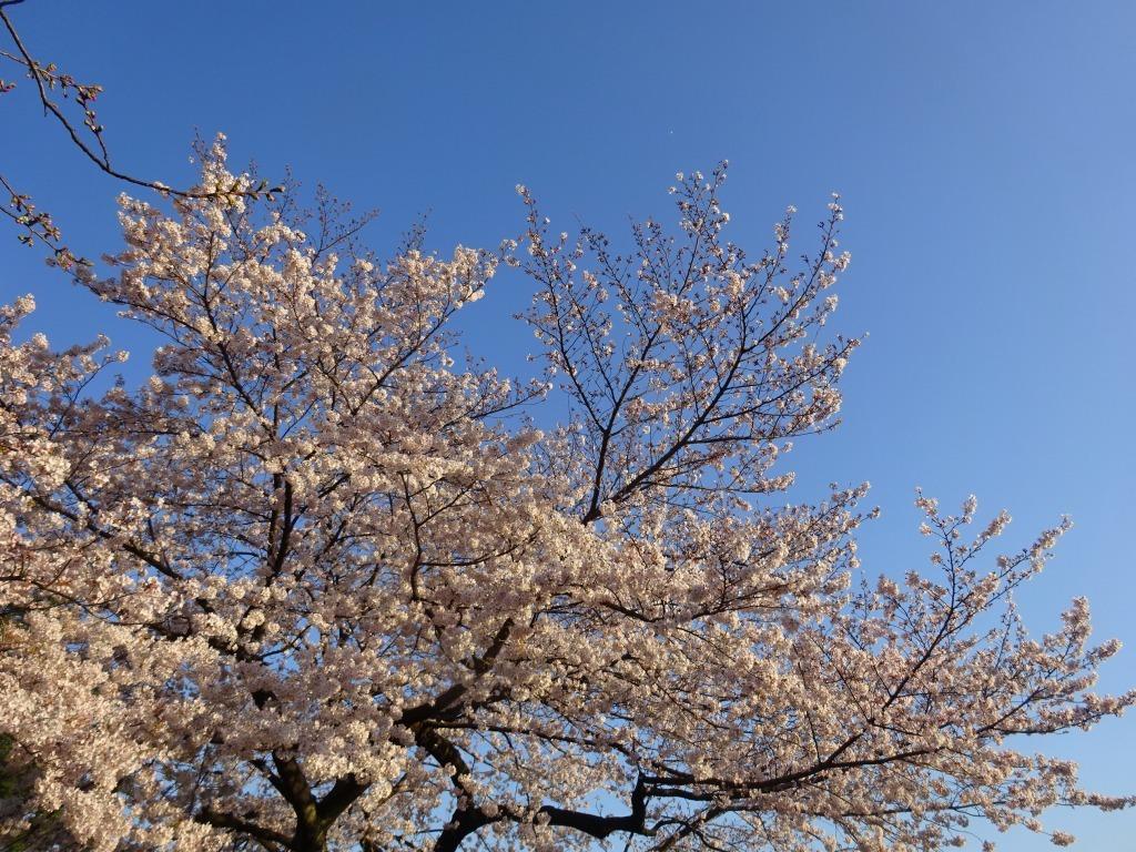 新宿御苑の色んな種類の桜_d0061678_16320880.jpg