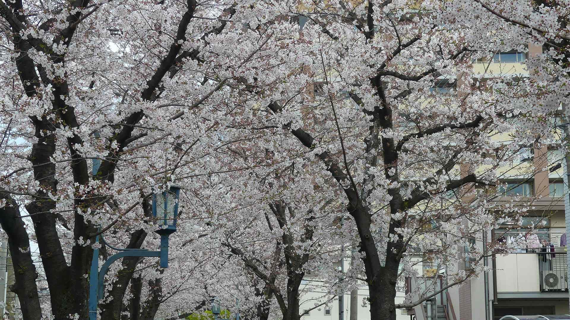 最後の花見だ! ア・ゴー! 【 2020 3/27(金)  】_a0185081_13192646.jpg