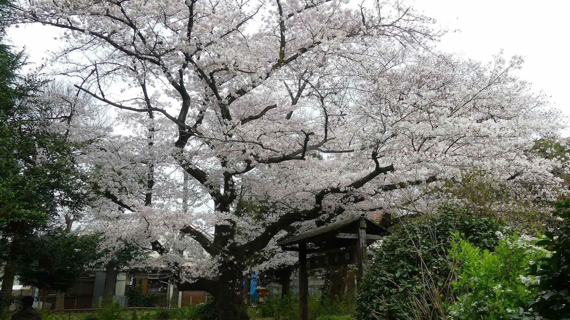 最後の花見だ! ア・ゴー! 【 2020 3/27(金)  】_a0185081_13374768.jpg
