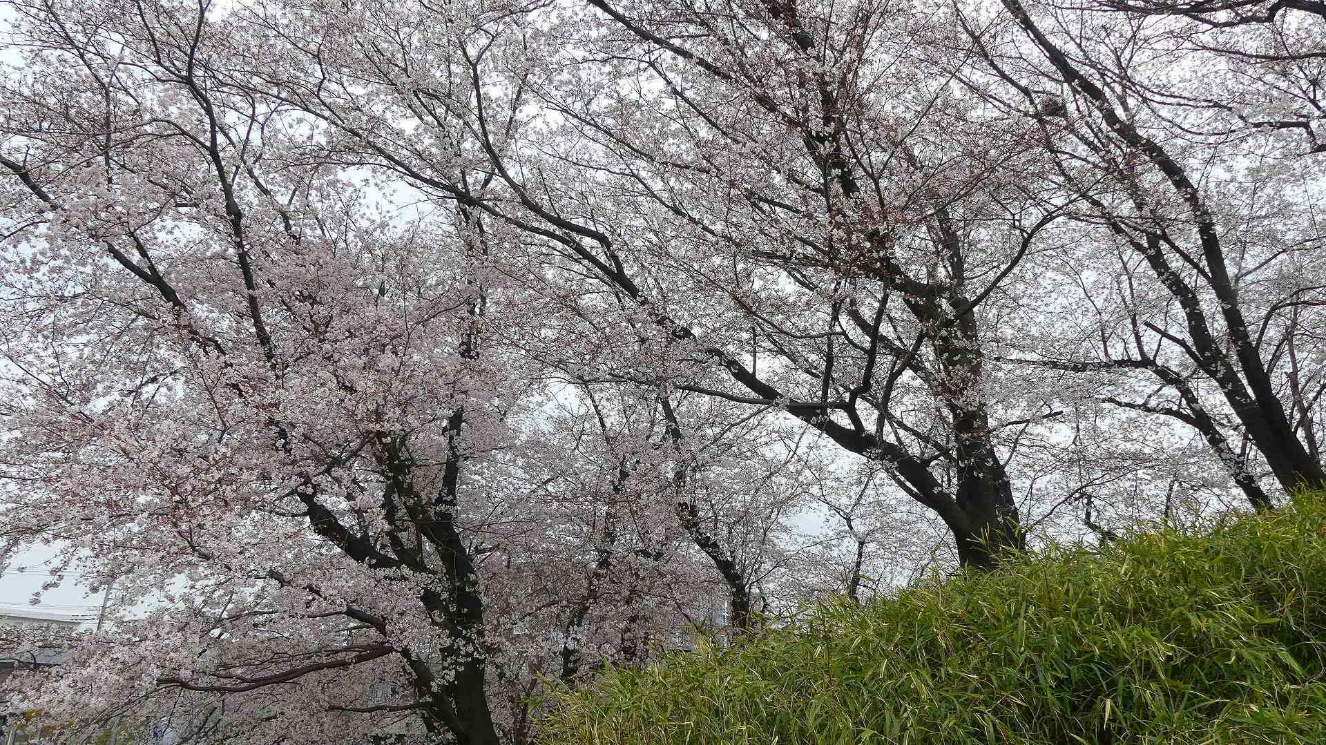 最後の花見だ! ア・ゴー! 【 2020 3/27(金)  】_a0185081_14205900.jpg