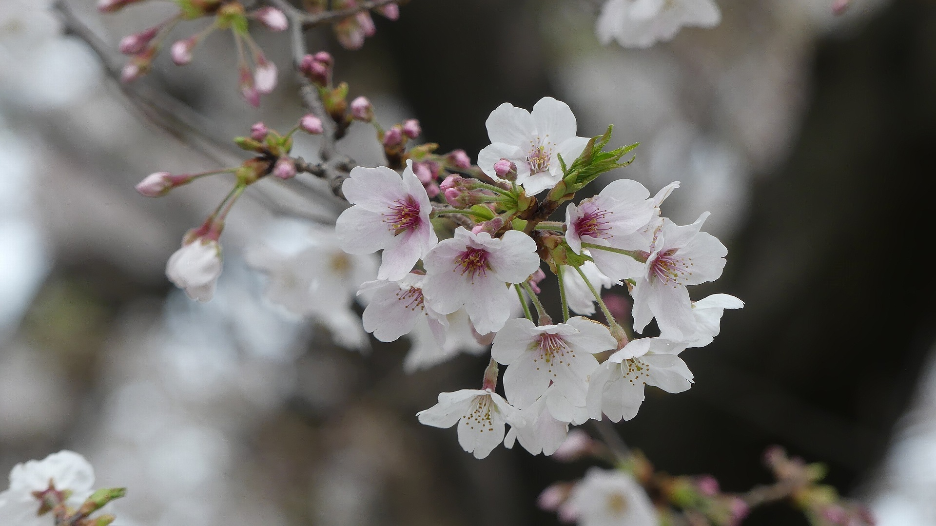 最後の花見だ! ア・ゴー! 【 2020 3/27(金)  】_a0185081_14211598.jpg
