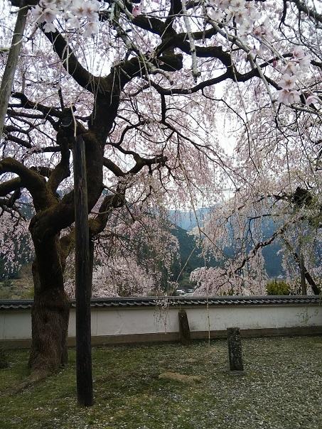 明王寺のしだれ桜_d0043390_21440849.jpg