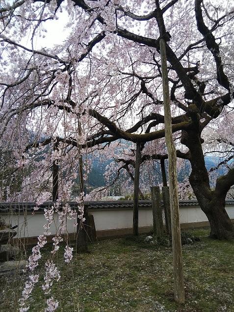 明王寺のしだれ桜_d0043390_21445796.jpg
