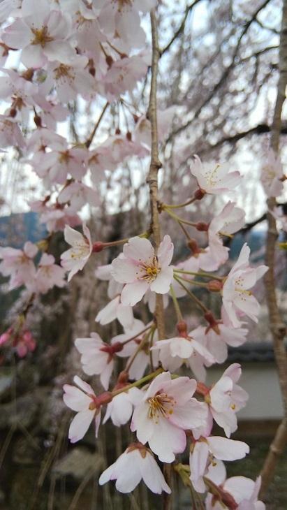 明王寺のしだれ桜_d0043390_21455038.jpg