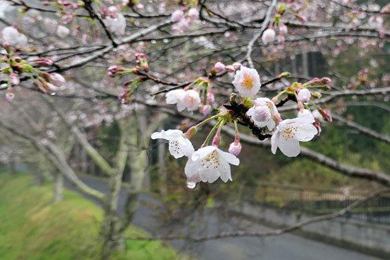 桜雨(さくらあめ)_b0145296_18402734.jpg
