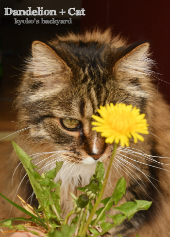 今年初咲きのタンポポと猫_b0253205_10454109.jpg