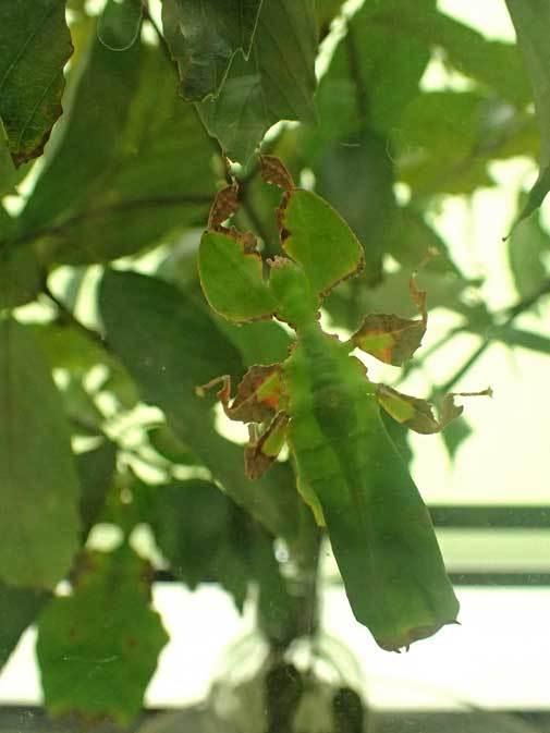 昆虫園本館~オオコノハムシとオオコノハギスの幼虫(多摩動物公園 April 2019)_b0355317_11432568.jpg