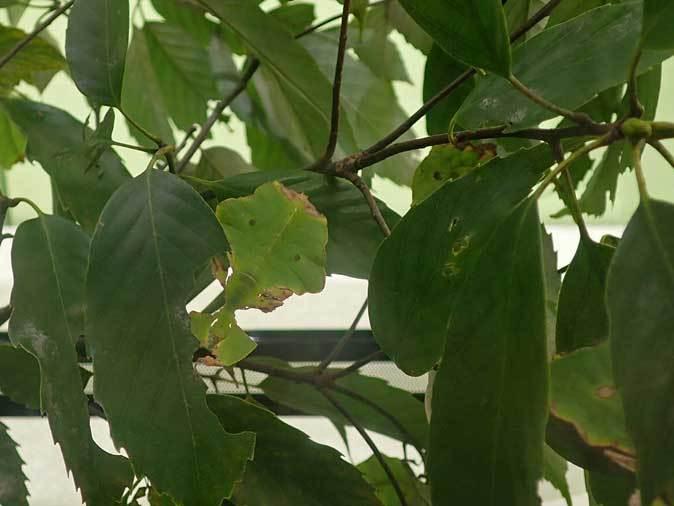 昆虫園本館~オオコノハムシとオオコノハギスの幼虫(多摩動物公園 April 2019)_b0355317_11453844.jpg