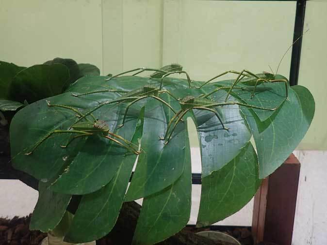 昆虫園本館~オオコノハムシとオオコノハギスの幼虫(多摩動物公園 April 2019)_b0355317_11502991.jpg