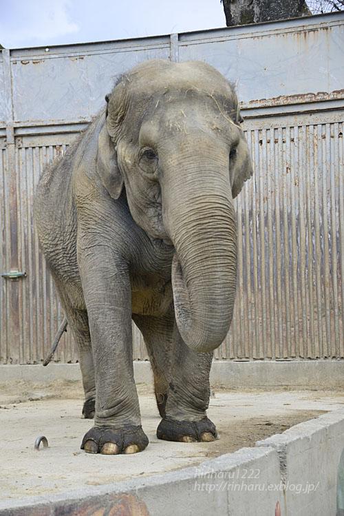 2020.3.16 宇都宮動物園☆象の宮子ちゃん【Elephant】_f0250322_15441923.jpg