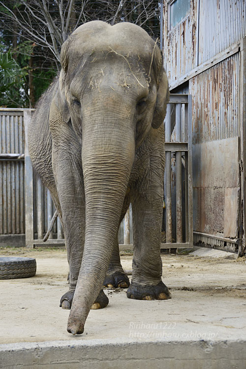 2020.3.16 宇都宮動物園☆象の宮子ちゃん【Elephant】_f0250322_1544271.jpg