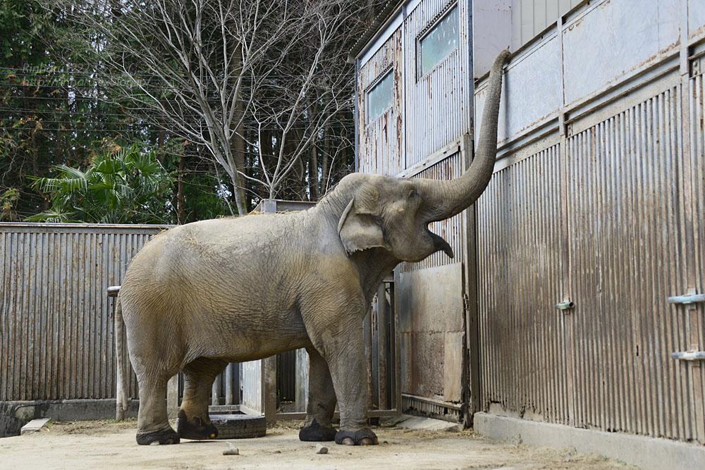 2020.3.16 宇都宮動物園☆象の宮子ちゃん【Elephant】_f0250322_15444763.jpg