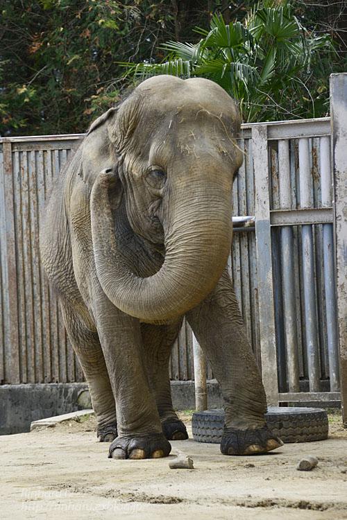 2020.3.16 宇都宮動物園☆象の宮子ちゃん【Elephant】_f0250322_15445426.jpg