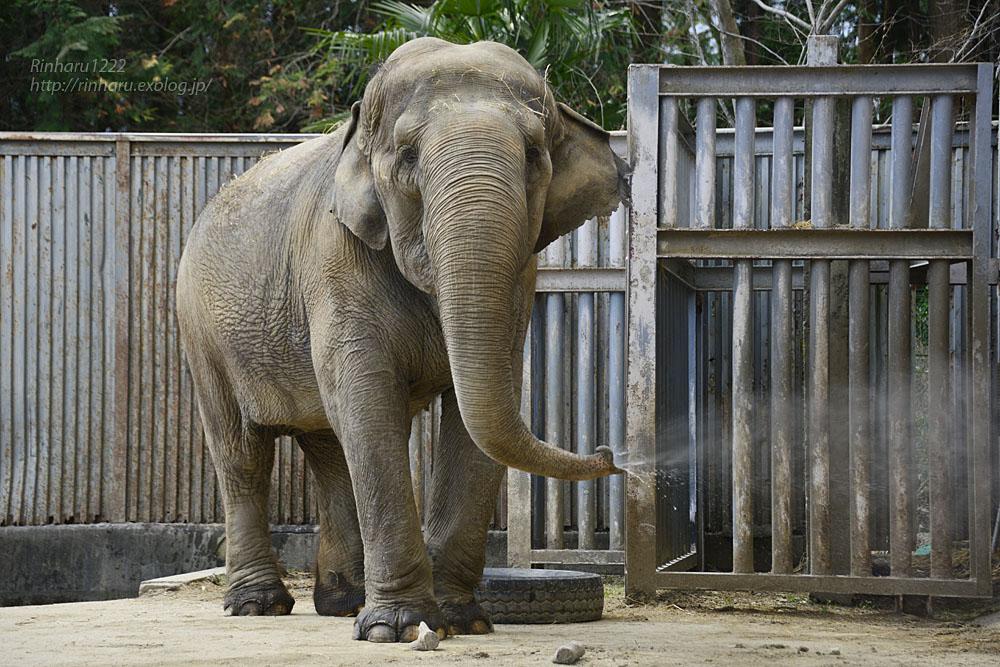 2020.3.16 宇都宮動物園☆象の宮子ちゃん【Elephant】_f0250322_15451337.jpg