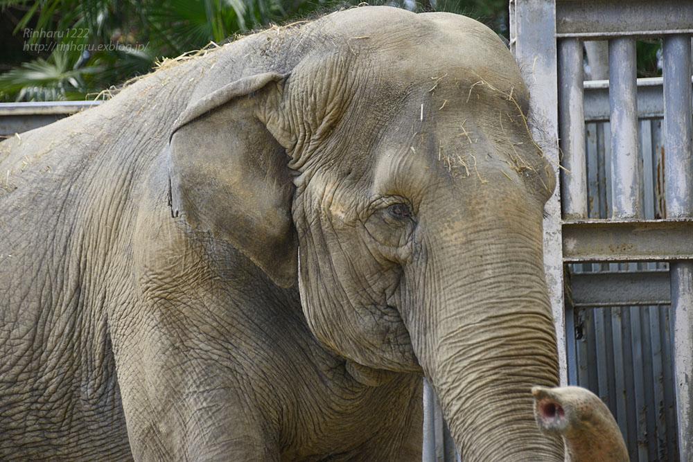 2020.3.16 宇都宮動物園☆象の宮子ちゃん【Elephant】_f0250322_15452063.jpg