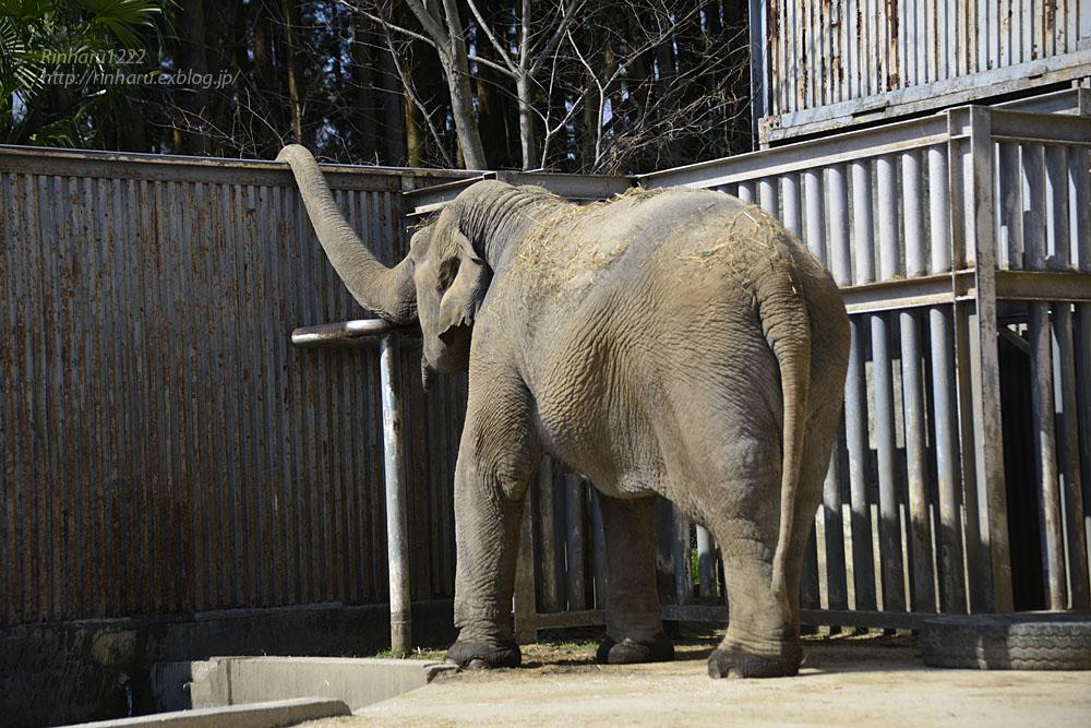 2020.3.16 宇都宮動物園☆象の宮子ちゃん【Elephant】_f0250322_15453545.jpg