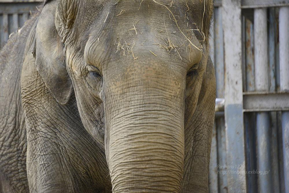 2020.3.16 宇都宮動物園☆象の宮子ちゃん【Elephant】_f0250322_1545743.jpg