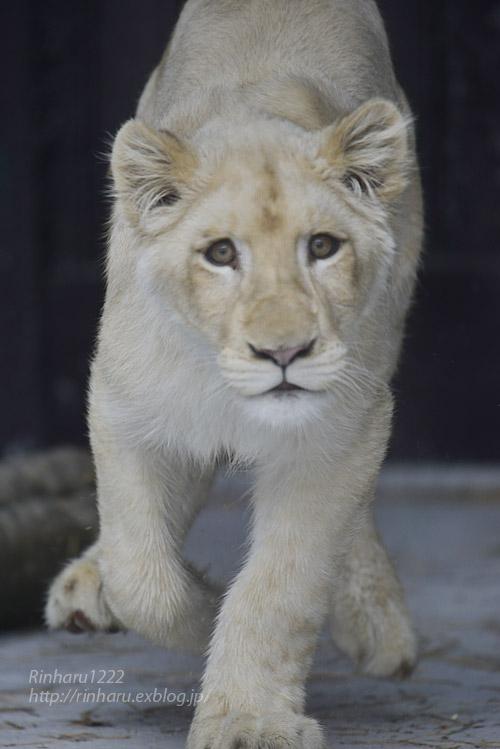 2020.1.19 東北サファリパーク☆ホワイトライオンのイチゴちゃん【White lion】_f0250322_20575857.jpg