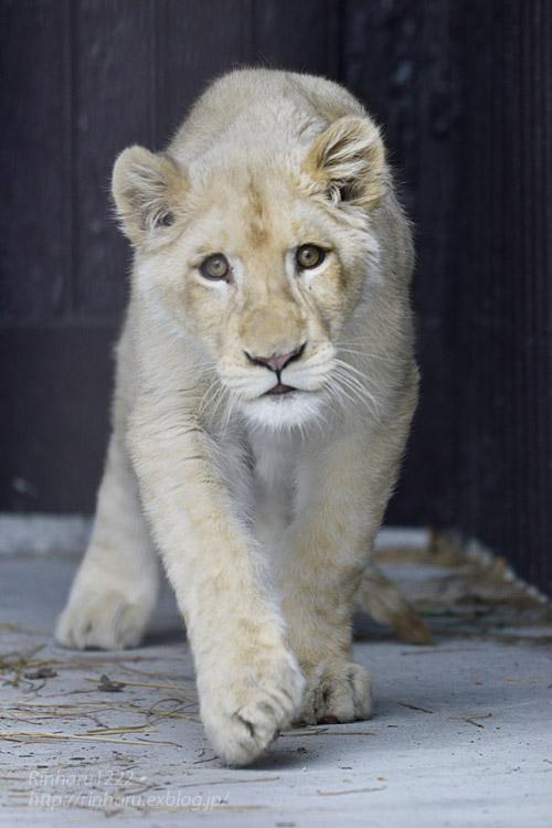 2020.1.19 東北サファリパーク☆ホワイトライオンのイチゴちゃん【White lion】_f0250322_20581156.jpg