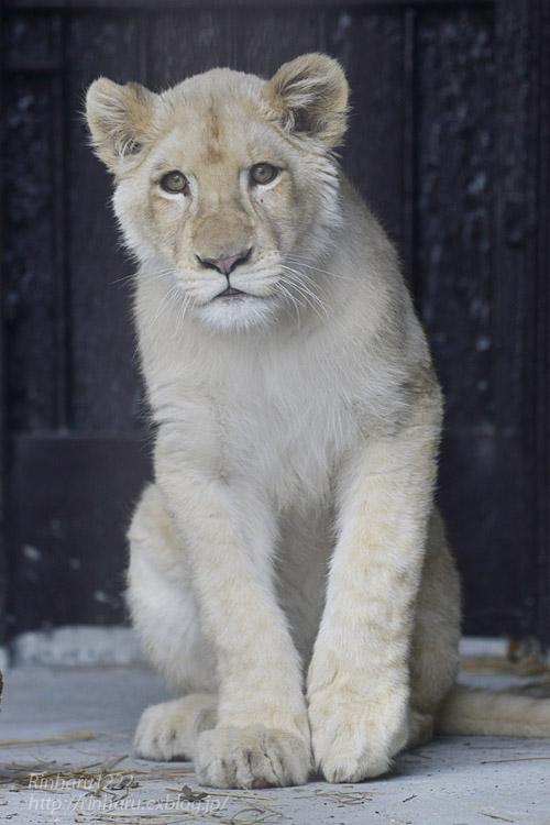 2020.1.19 東北サファリパーク☆ホワイトライオンのイチゴちゃん【White lion】_f0250322_20581819.jpg