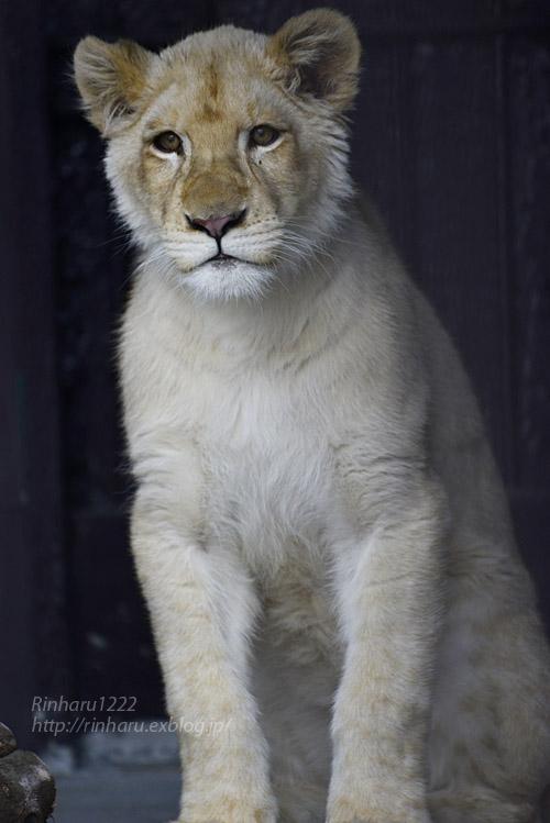 2020.1.19 東北サファリパーク☆ホワイトライオンのイチゴちゃん【White lion】_f0250322_20582460.jpg