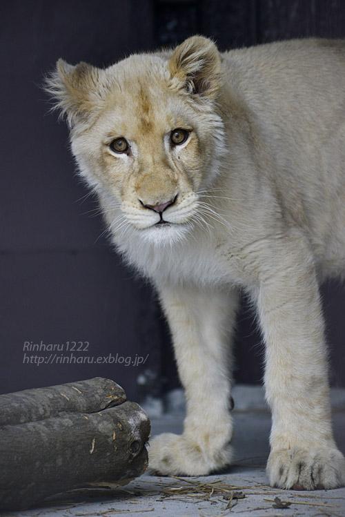 2020.1.19 東北サファリパーク☆ホワイトライオンのイチゴちゃん【White lion】_f0250322_20583045.jpg