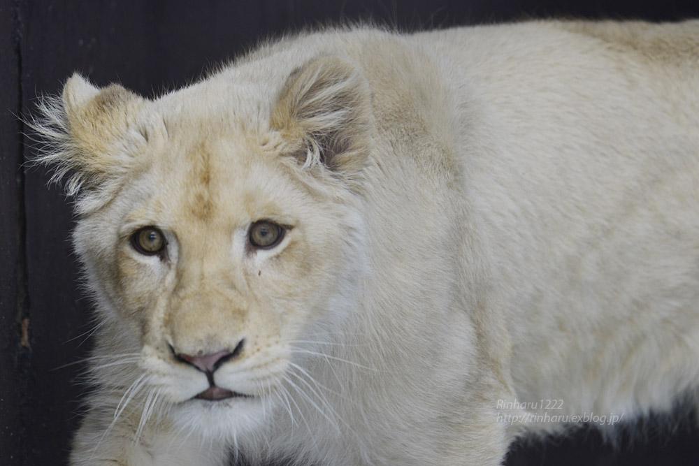 2020.1.19 東北サファリパーク☆ホワイトライオンのイチゴちゃん【White lion】_f0250322_20583717.jpg