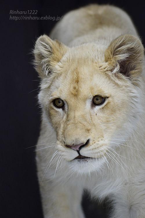 2020.1.19 東北サファリパーク☆ホワイトライオンのイチゴちゃん【White lion】_f0250322_20584478.jpg