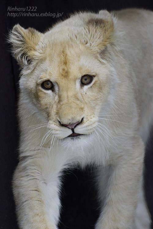 2020.1.19 東北サファリパーク☆ホワイトライオンのイチゴちゃん【White lion】_f0250322_20585333.jpg