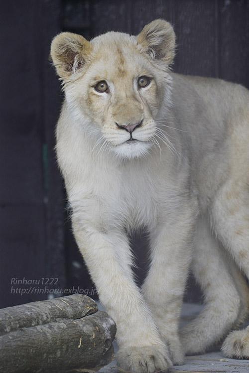 2020.1.19 東北サファリパーク☆ホワイトライオンのイチゴちゃん【White lion】_f0250322_2058534.jpg