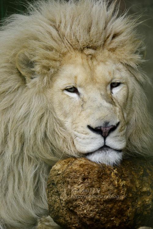 2020.3.8 東北サファリパーク☆白獅子ポップくん&茶獅子ノゾムくん【Lions】_f0250322_22163596.jpg