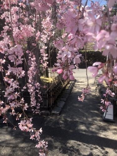 桜の季節に…_a0197730_23352625.jpeg