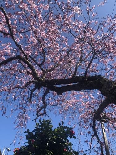 桜の季節に…_a0197730_23372617.jpeg