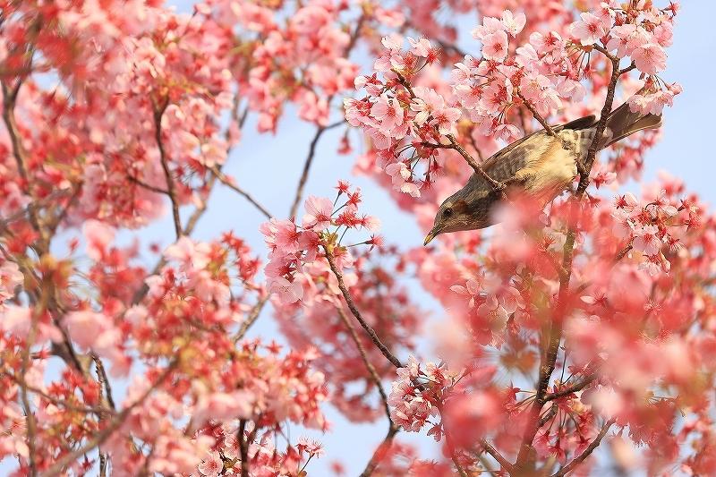 近所の桜_f0348831_20244060.jpg