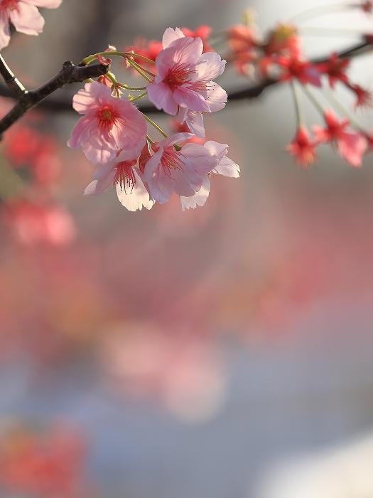近所の桜_f0348831_20244374.jpg