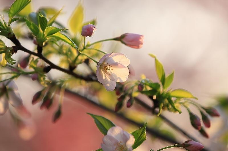 近所の桜_f0348831_20245843.jpg