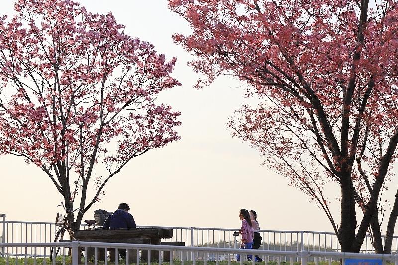 近所の桜_f0348831_20250056.jpg