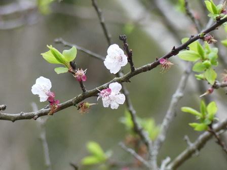 キランソウ咲く。スモモもアンズも、、。_a0123836_16120970.jpg