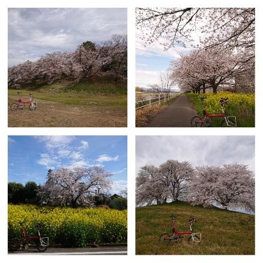 今朝のお花見ライド_d0147944_13152572.jpg