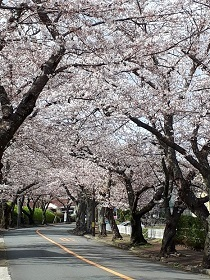 【伊東市 伊豆高原 桜並木情報】_e0093046_16422399.jpg