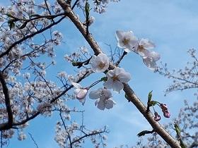 【伊東市 伊豆高原 桜並木情報】_e0093046_16424160.jpg