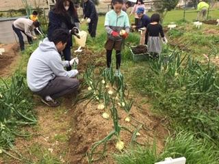 玉ねぎの収穫をしました!!_f0079749_19402984.jpg